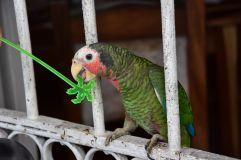 cienfuegos_perroquet