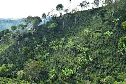 Les plantations de café de la Finca Los Acacias