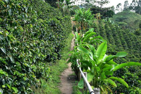 Plants de café et bananiers