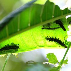 Peut être des futurs papillons