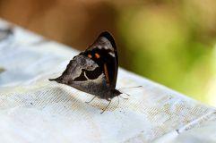 Gros papillon