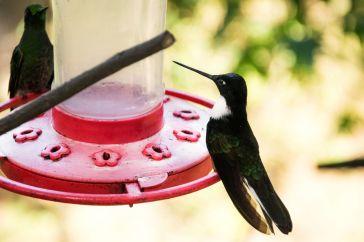 Colibri noir et blanc