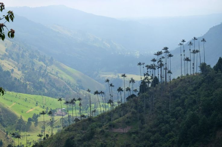 Les palmiers de Cocora