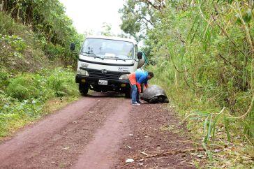 Tortue géante sur la route