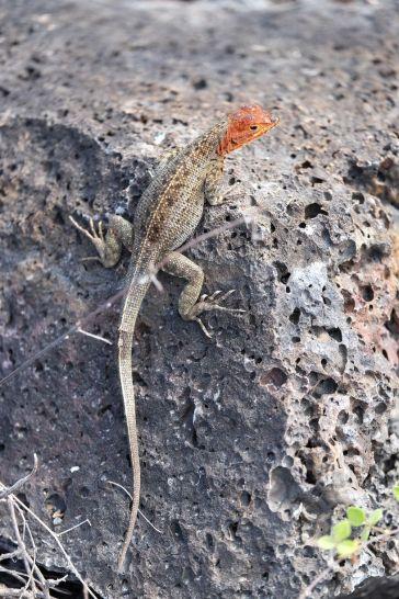 Microlophus ou Lava Lizard