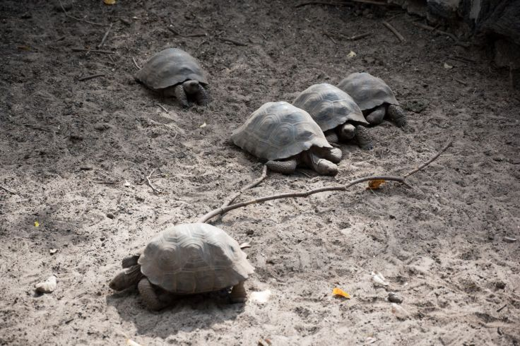 Bébés tortues du Centro de Crianza