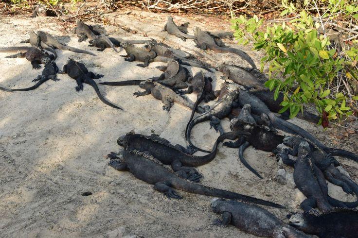 Bande d'iguanes marins