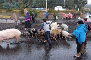 Traversée de porcs