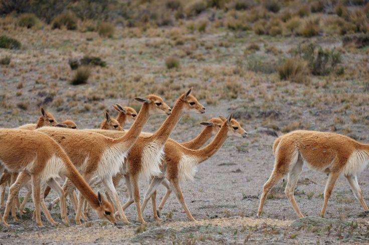 Troupeau de Vicuñas (vigognes)