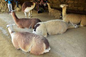 Sieste de lamas
